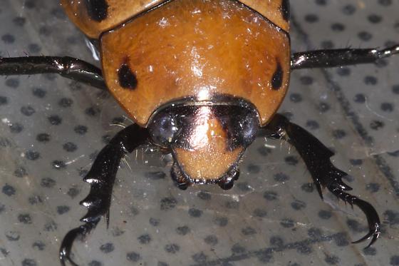 spotted beetle - Pelidnota punctata