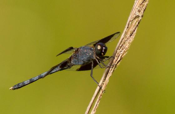 Dragonfly - Erythrodiplax umbrata