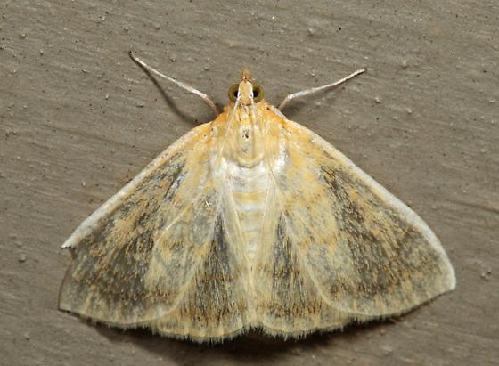 Hahncappsia marculenta - Hahncappsia