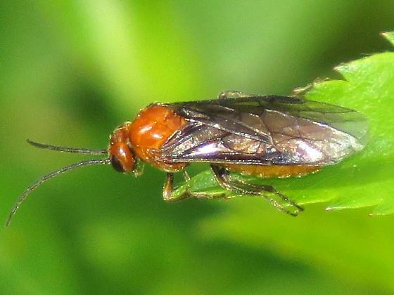 unknown hymenoptera - Hemichroa crocea