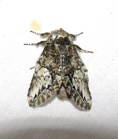 moth 4062 - Heterocampa umbrata