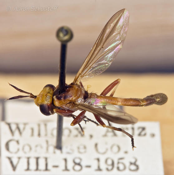 Curated Physoconops gracilis 1 (from the Essig Museum, U.C. Berkeley) - Physoconops gracilis - male