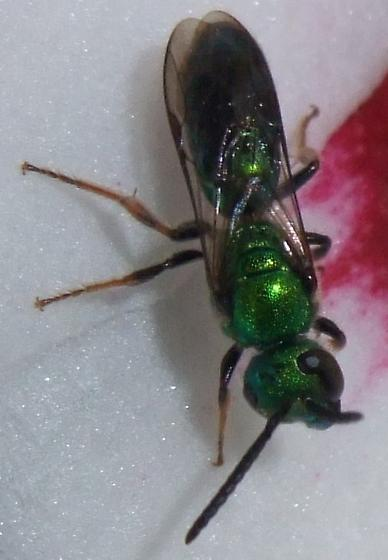 Anthophila (Apoidea)  - Augochlora pura