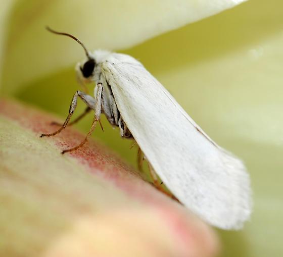 Yucca moth on Yucca glauca flower pistil