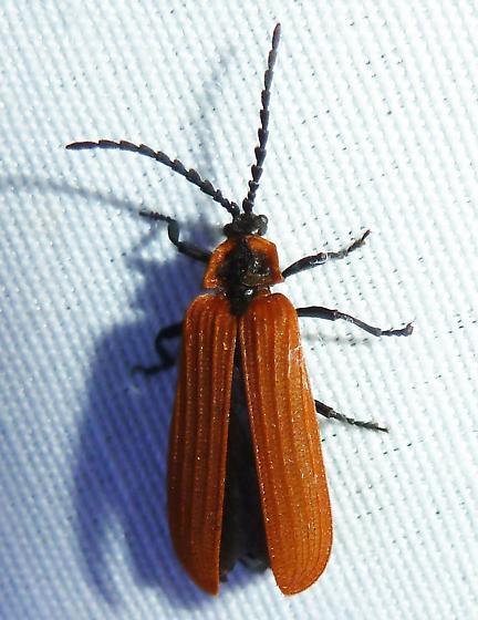 unknown - Dictyoptera aurora