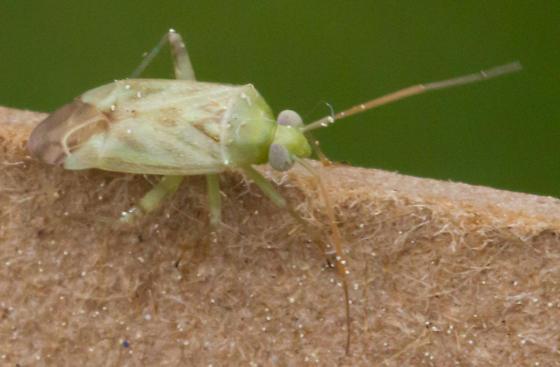 Taylorilygus apicalis