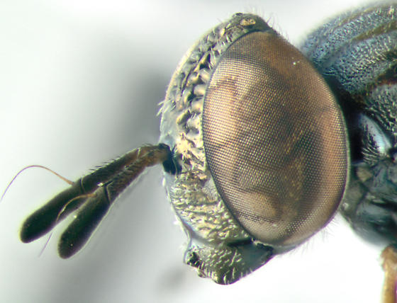 Syrphidae, lateral - Orthonevra nitida - female