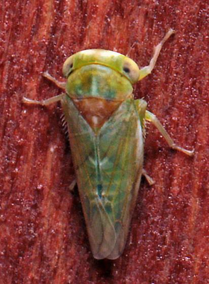 Leafhopper - Idiocerus nervatus