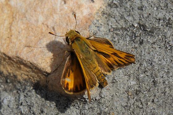 Skipper ID - Hylephila phyleus
