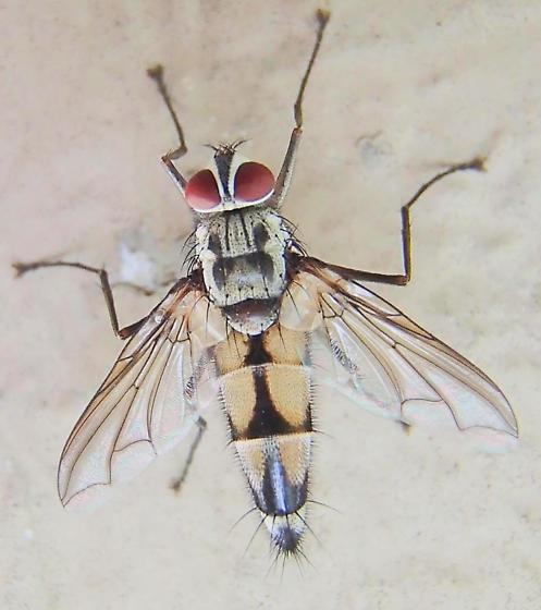 Fly - Zelia vertebrata - male