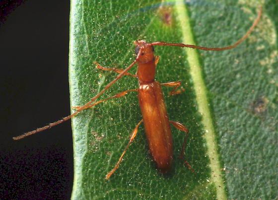 Unknown Longhorn Beetle - Psyrassa unicolor