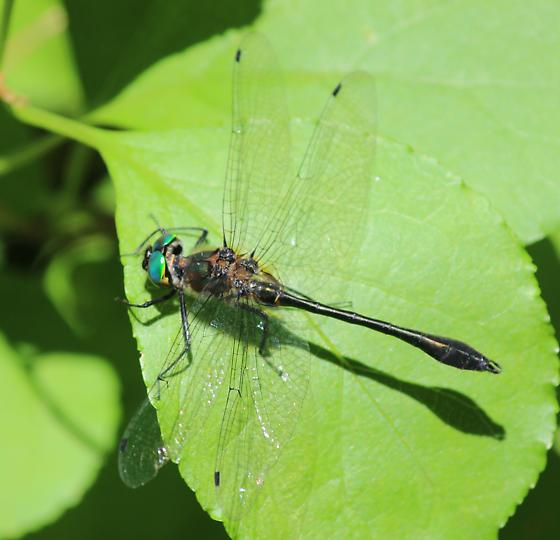 Dragonfly - unidentified - Dorocordulia libera - male