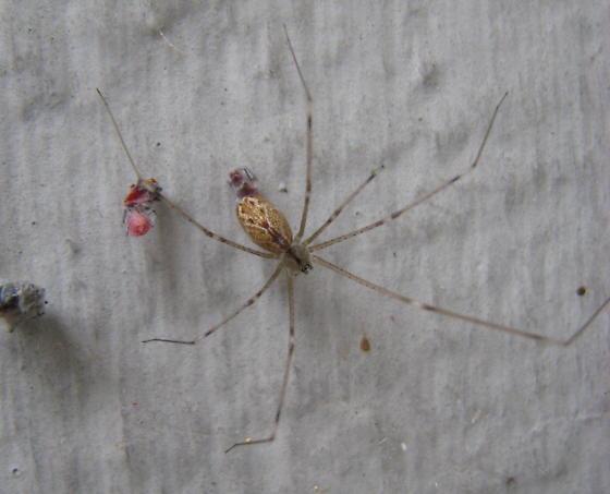 Possible Holocnemus pluchei, Marbled Cellar Spider - Holocnemus pluchei