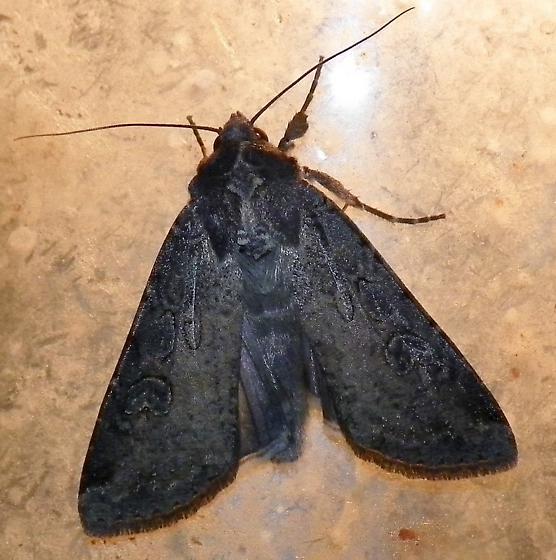 Black moth - Peridroma saucia