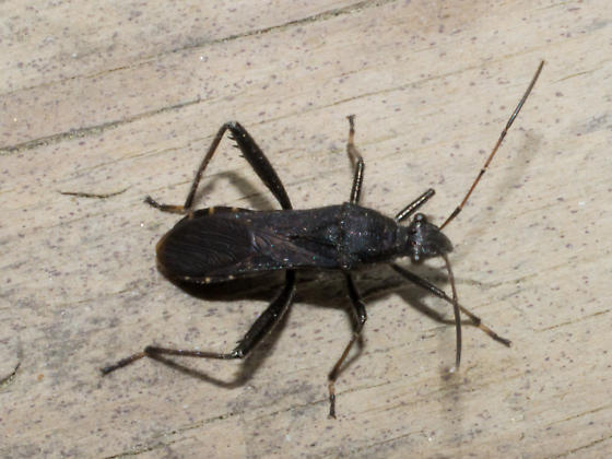 Black assassin bug - Alydus eurinus