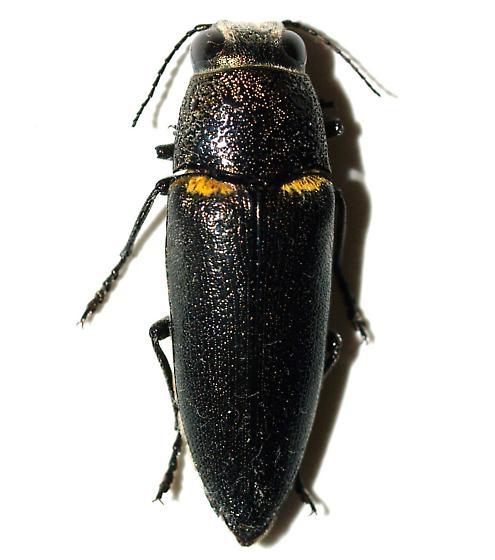 Buprestid  - Hippomelas sphenicus