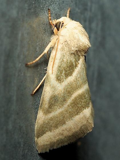 Subflexus Straw Moth? - Schinia trifascia