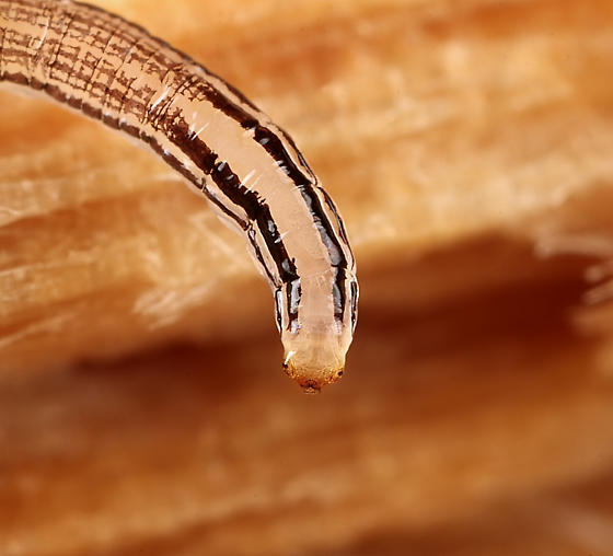 Larva ID