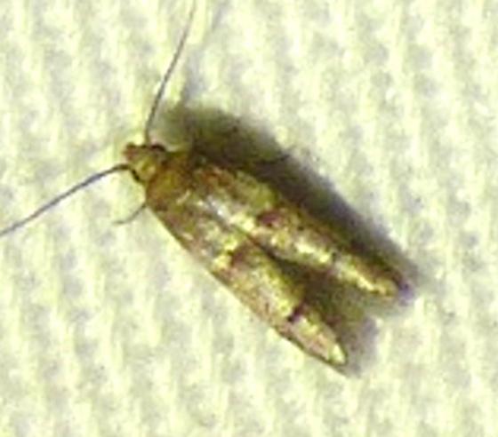unknown moth - Blastobasis