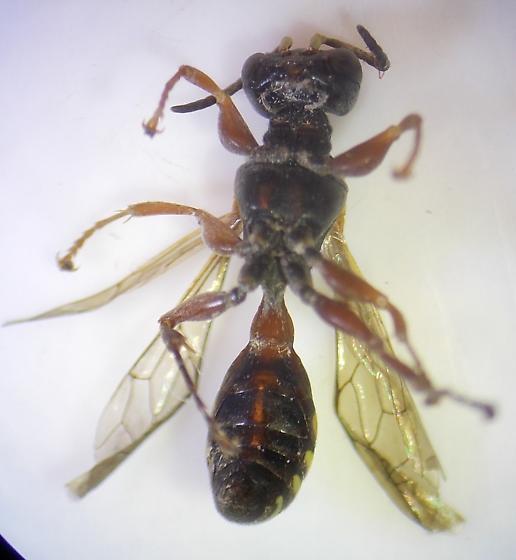 Wasp - Mellinus rufinodus - male