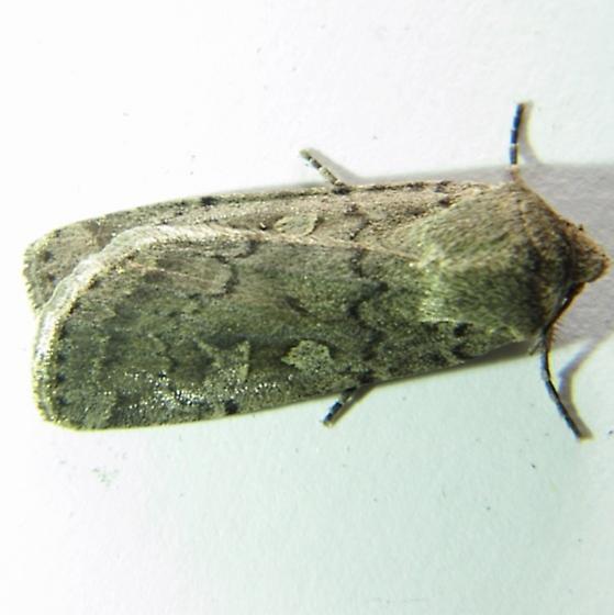 Actebia balanitis - Hodges #10923 - Actebia balanitis