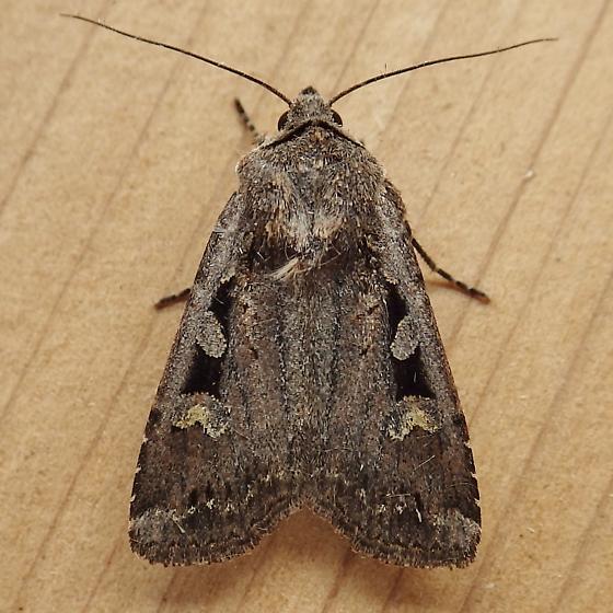 Noctuidae: Euxoa tessellata - Euxoa tessellata