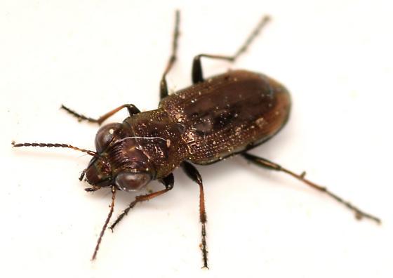 big-eyed beetle - Notiophilus biguttatus