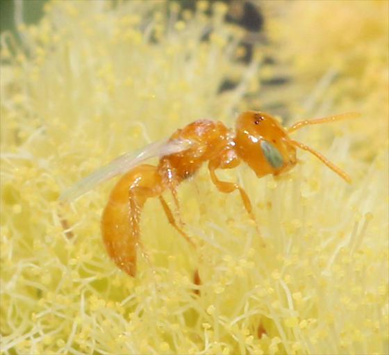 Tiny wasp - Perdita larreae