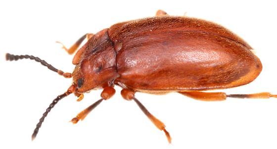 Epipocus - Epipocus opacus