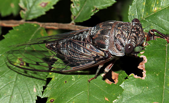 Neotibicen sp.? - Megatibicen figuratus