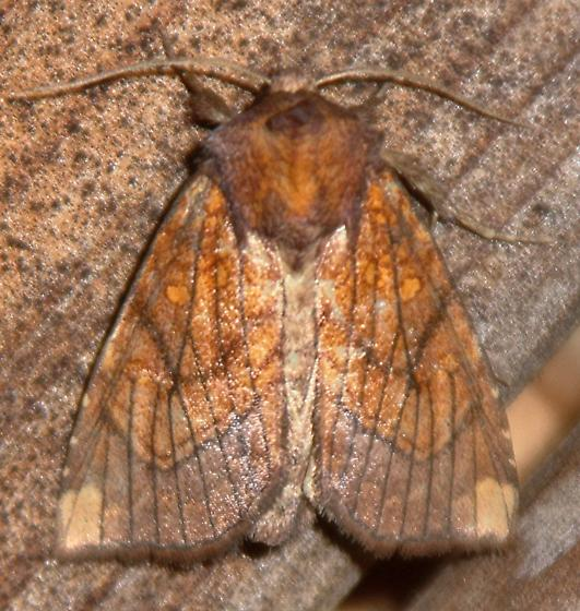Sensitive Fern Borer  - Papaipema inquaesita