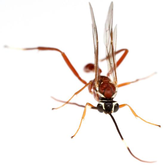 Male, Ichneumonidae