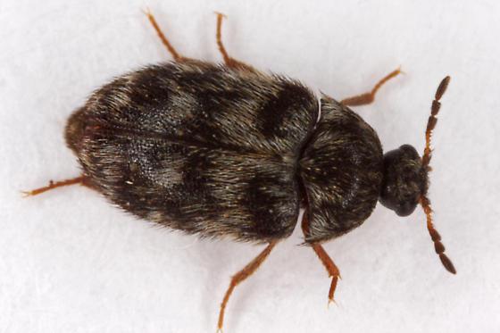 unknown beetle - Paranovelsis perplexa