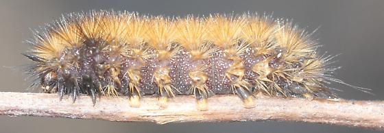 Tiger Moth Cat - Phragmatobia
