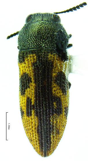 Acmaeodera tildenorum - male