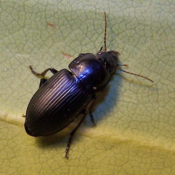 Anisodactylus