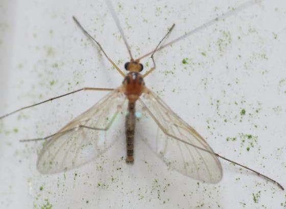 Crane Fly or Wasp? - Macrocera - male