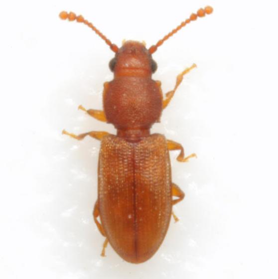 Ahasverus rectus (LeConte) - Ahasverus rectus