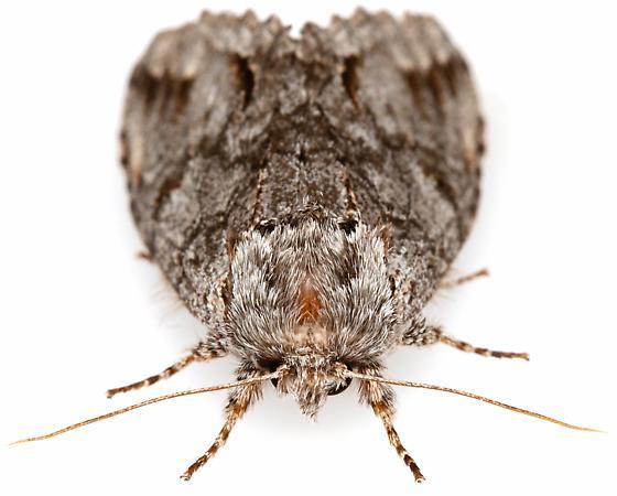 Female, Macrurocampa dorothea?