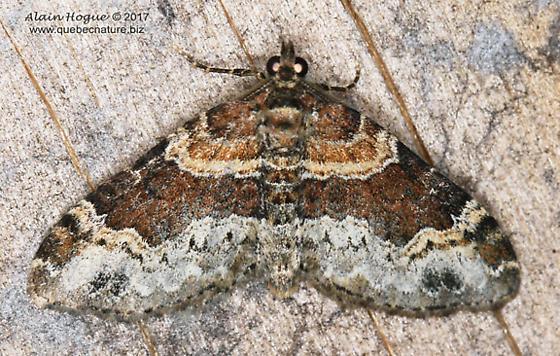 Euphyia intermediata ? - Xanthorhoe ferrugata - male