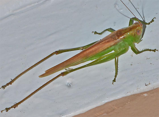 ? - Conocephalus fasciatus - female