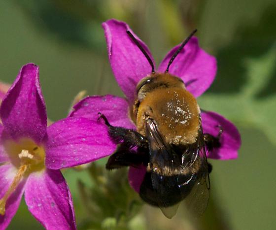 small bumblebee? - Centris
