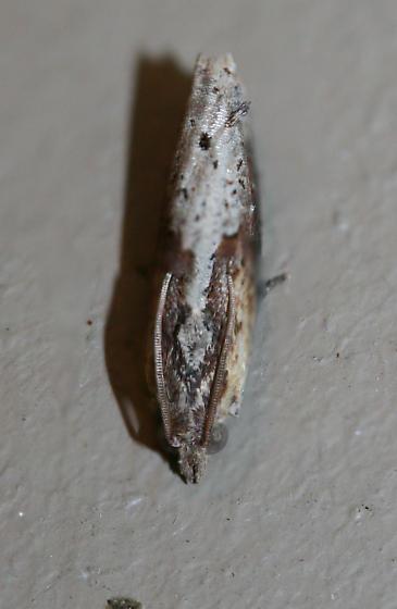 Inimical Borer Moth (Pseudogalleria inimicella) - Pseudogalleria inimicella