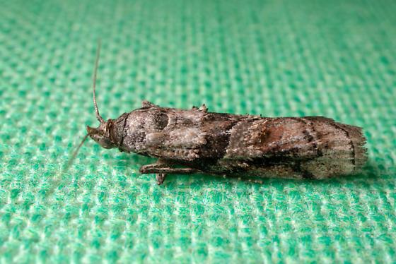 Dioryctria clarioralis