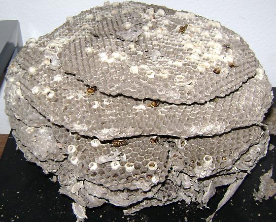 Huge Vespula Pensylvanica nest #2 combs - Vespula pensylvanica