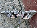 Moth or Elephant? - Smerinthus cerisyi - male