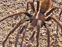 Tarantula on Marcus Landslide Trail - Aphonopelma chalcodes