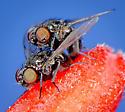 Mating flies - ID request - Melanagromyza - male - female