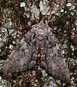 Moth - Catocala palaeogama
