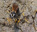 mud dauber - Sceliphron caementarium